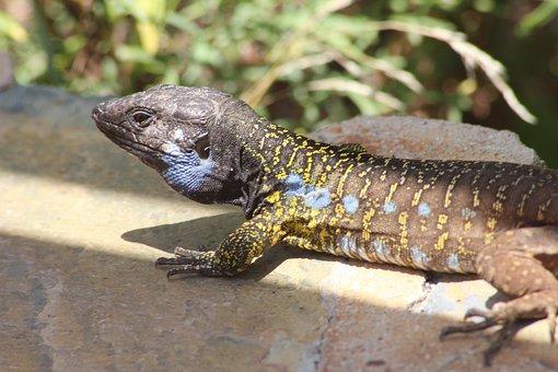 Animals, Reptiles, Reptile, Lizard, Australia, Danger