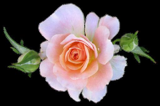 Flower, Stem, Pink, Mini, Rose, Fragrant, Blooms