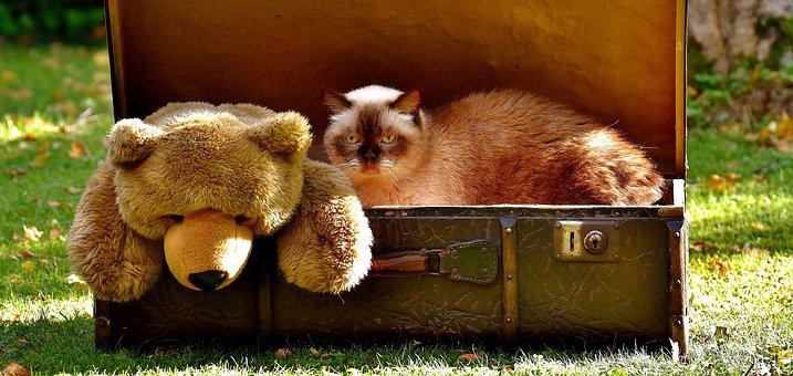 Teddy, Luggage, Antique, Cat, British Shorthair, Funny