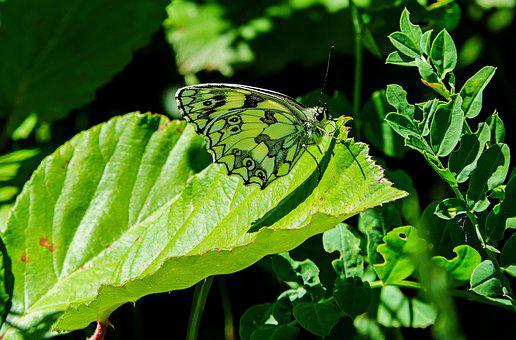 Butterfly, Butterflies, Green, Camouflage, Insect
