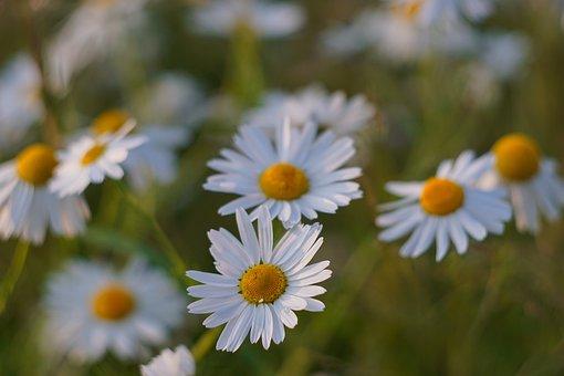 Chamomile, Flowers, White Flower, Meadow, Chamomilla