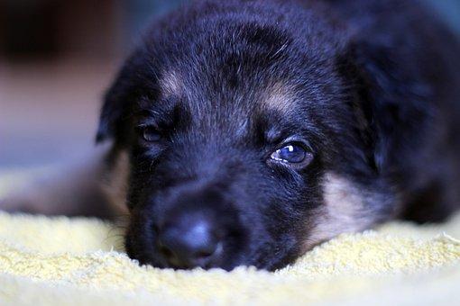 German Shepherd Dog, Puppy, Look, Sadness, Pity, Dog