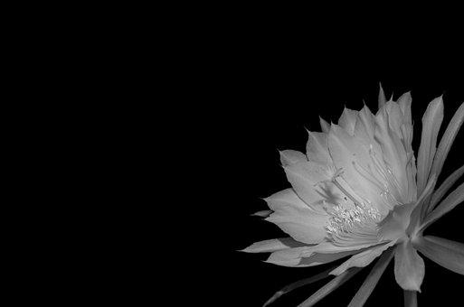 Epiphyllum, Blossom, Bloom, Black White