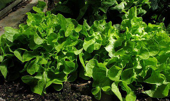 Greenhouse, Salad, Ready To Be Harvested, Harvest
