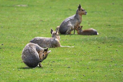 Mara, Hare Of Patagonia, Grass