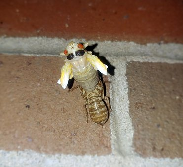 Cicada, Periodical Cicadas, Insect, 17 Year Cicada