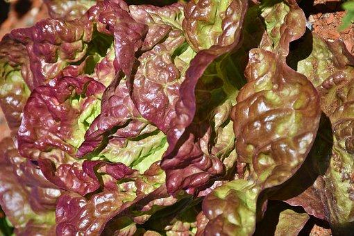 Lollo Rosso, Cut Salad, Lettuce, Leaf Lettuce, Salad