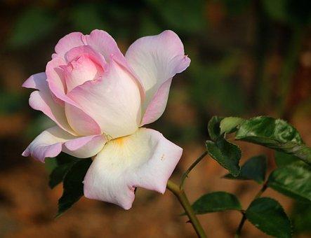 Rose, Flowers, For, Leaf, Rose Garden, Your Efforts