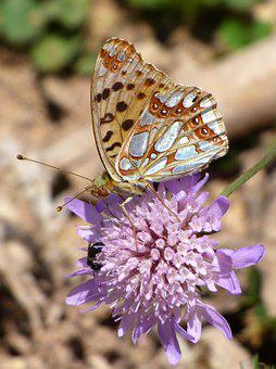 Butterfly, Wild Flower, Libar, Detail, Melitaea Deione