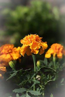 Marigold, Marigolds, Turkish Carnation, Flora