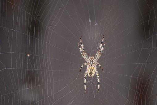 Spider, Hotel, Cobweb, Araneus, Waiting, Victim, Nature