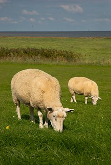Sheep, North Sea, Dike Sheep, Fedderwardersiel