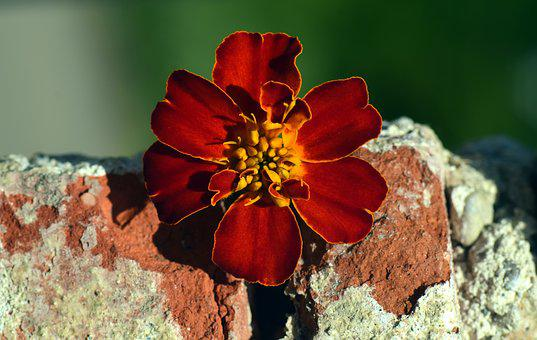 Marigold, Blossom, Bloom, Red, Orange, Stone, Wall