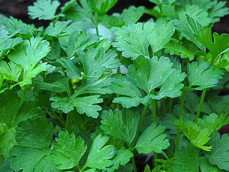 Parsley, Peterle, Culinary Herbs, Greenhouse