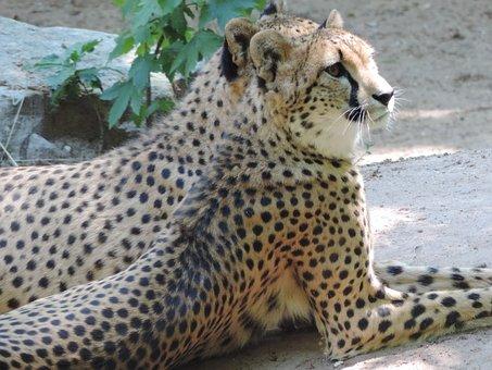 Cheetah, Cat, Big Cat, Africa, Predator, Zoo