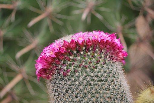 Cactus, Thorn, Flowers, Valor, Symbiosis