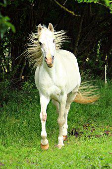 Horse, Mold, Stallion, Mane, Thoroughbred Arabian