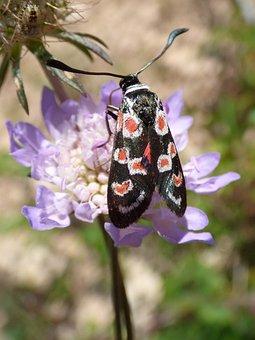 Butterfly, Zygaena Filipendulae, Gitaneta, Wild Flower