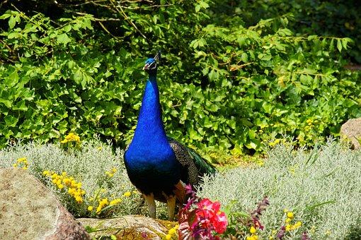 Peacock, Bird, Plumage, Gorgeous, Pride, Nature