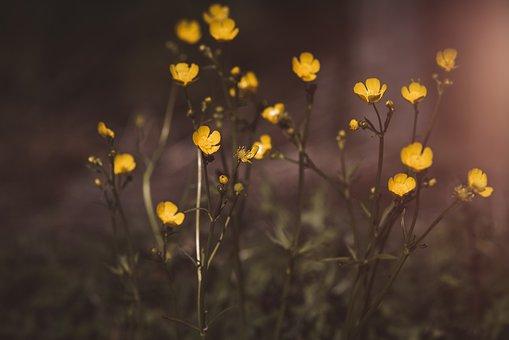 Buttercup, Flowers, Hahnenfußgewächs, Yellow, Blossom