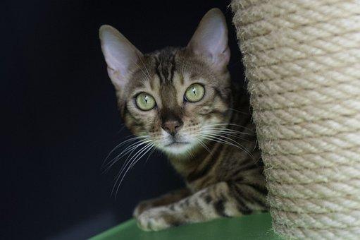 Cat, Bengal