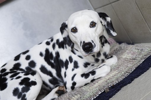 Dalmatians, Dog, Stains