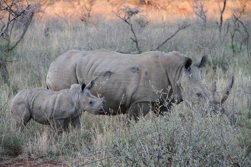 Rhino, Endangered, Family, Pilanesberg, Safari, Animal