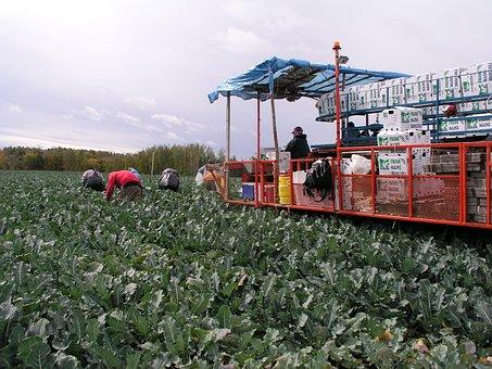 Broccoli, Harvest, Field, Fresh, Farming, Agriculture
