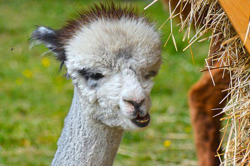 Alpaca, Animal, Wildlife Photography, Fluffy, Cute