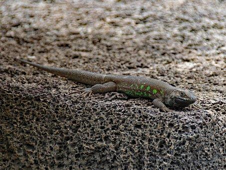 Ostkanaren Lizard, Lizard, Gallotia Atlantica, Reptile