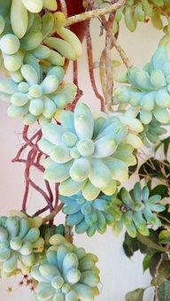 Plant, Succulent, Gross Floor, Succulent Plant