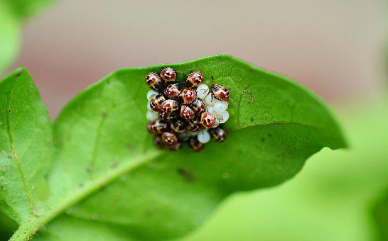 Bugs, Leaf Bug, Bug, Insect, Insect Eggs, Hatch