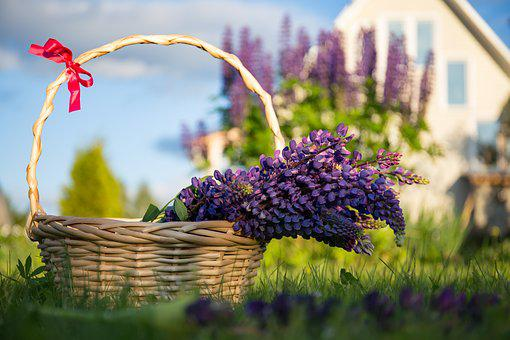 Lupine, Flowers, Basket, Dacha, Summer, Nature, Grass