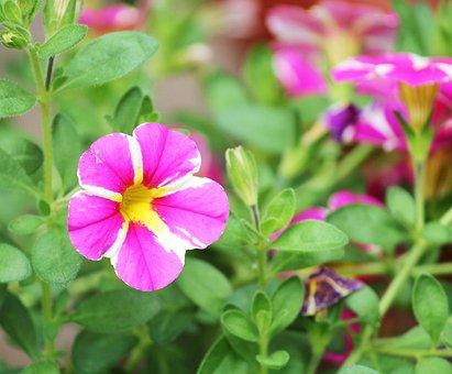 Petunia, Ornamental Plant, Nachtschattengewächs, Pink