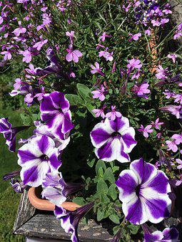 Balkonblumen, Flowers, Balcony Plant, Plant, Violet