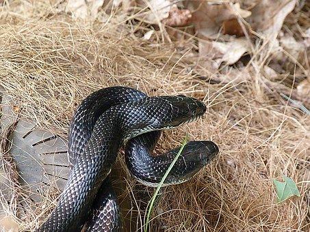 Snake, Rat Snake, Black, Wildlife, Reptile, Mating