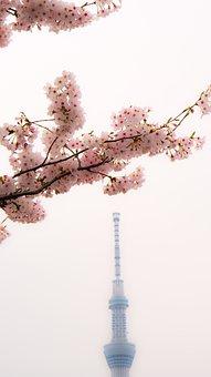 Skytree, Cherry Blossoms, Asakusa, Japan