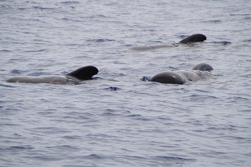 Whales, Pilot Whales, Marine Mammals, Water