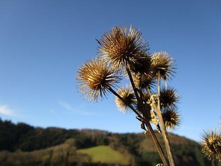Plant, Thistle, Dried, Prickly, Wild Flower, Autumn