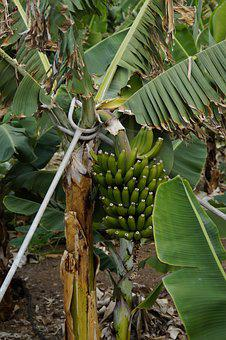 Bananas, Banana Plantation, Support, Hard, Banana Shrub