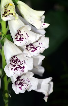 Thimble, White, White Foxglove, Flower, Blossom, Bloom