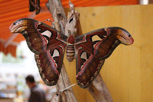 Atlas Moth, Butterfly, Largest Butterfly, Nature