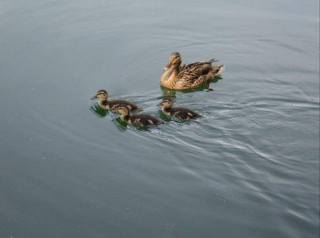 Ducklings, Chicks, Mallard, Cute, Mama, Ducks