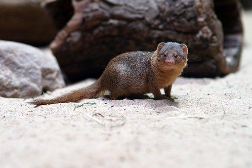 Zwergmanguste, Zoo, Animal, Mammal, Creature, Mongoose