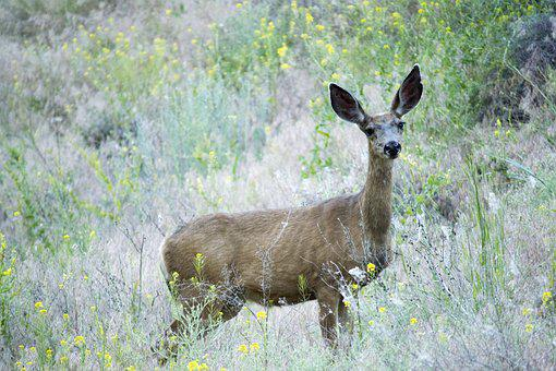 Deer, Mule, Animal, Mammal, Nature, Wildlife, Buck