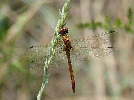 Dragonfly Amarila, Stem, Winged Insect