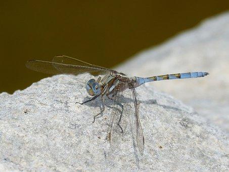 Dragonfly, Blue Dragonfly, Rock, Raft