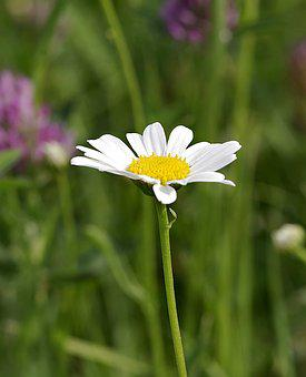 Daisy, Single, Flower, White, Yellow, Vertically