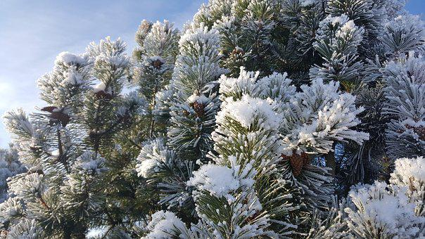 Winter, Tree, Cold, First Snow, Christmas, Forest