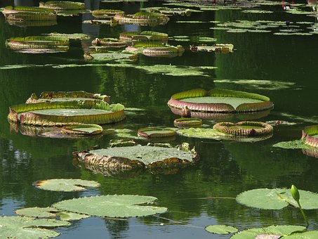 Water Lily, Giant Water Lily, Nymphaea Gigantea